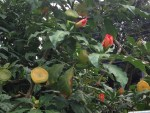 Rose cactus/ サクラキリン