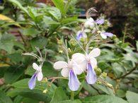Blue Butterfly Bush/ ブルーエルフィン  クレロデンドロン・ウガンデンス