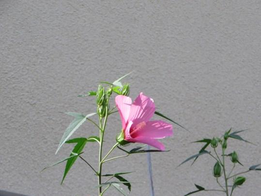 Scarlet rose mallow/ モミジアオイ