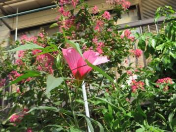 モミジアオイ 花と葉の様子