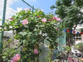 フヨウ 次から次に咲く花