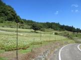 段々のソバ畑