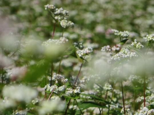 満開のそば畑