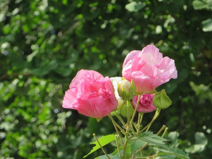 スイフヨウ ピンクに染まった花