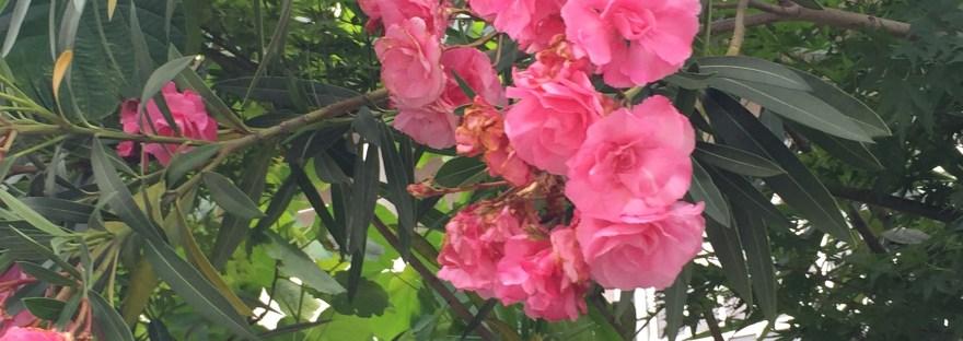 Oleander/ キョウチクトウ