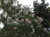キョウチクトウ 花の姿