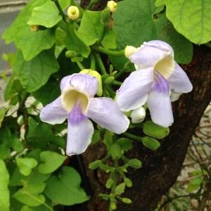 ベンガルヤハズズカズラ 少し薄めの色の花