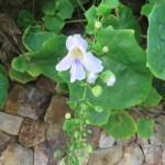 ベンガルヤハズズカズラ 低いところで咲いていた花