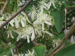 センニンソウ 花のアップ
