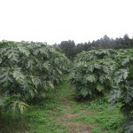 北限のパパイヤ農園