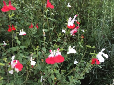 Cherry sage チェリーセージ 白赤の花と赤い花