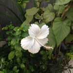 白色の花 ブッソウゲ
