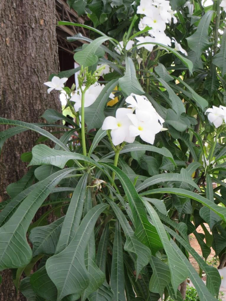 Wild Plumeria/ Plumeria pudica