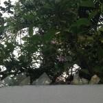 コプシア 花の遠景