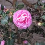 ピンクの山茶花