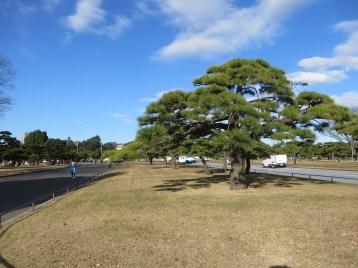 枝ぶりの良い松 全景