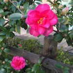 垣根の山茶花 咲き始め