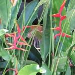 Heliconia marginata x bihai