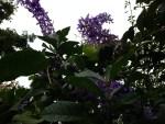 Sandpaper vine/ パープルリース