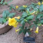 ヒメアリアケカズラ 鉢に植えられた標本