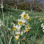 Bunch-flowered Narcissus/ ニホンスイセン