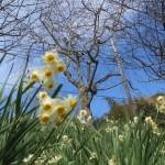 ニホンスイセンと桜(早春)