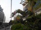 ホテルの前のタビビトノキ