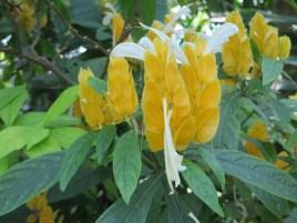 Lollipop plant / ウコンサンゴバナ