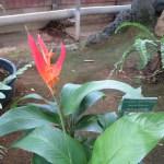 Heliconia psittacorum 花と葉の様子(標識つき)