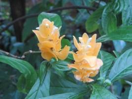 ウコンサンゴバナ 若い花のアップ