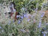 やや青色が濃い種 花は小さい