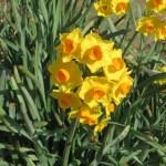 Bunch-flowered Narcissus/ フサザキスイセン キブサスイセン系