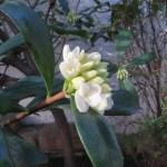ジンチョウゲ やっと咲き始めた蕾