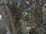 緑色の若い実