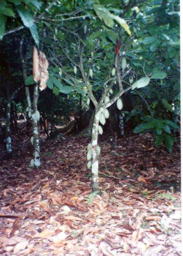 ガーナのカカオ畑