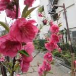 モモ やや赤みの強い花