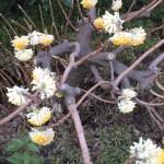 ミツマタ 枝と花の様子