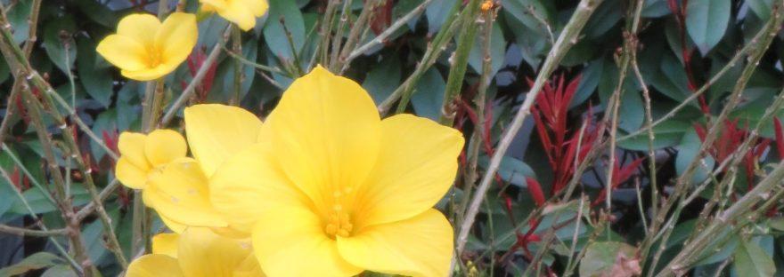 Winter jasmine / オウバイ