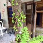 ナガバノゴレンシ 木の様子