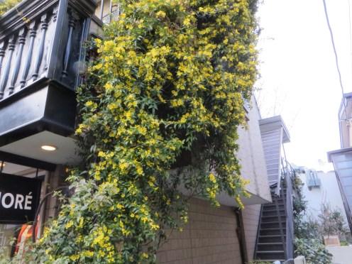 カロライナジャスミン 建物を覆う見事な花