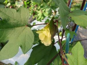 ワタ 花のつぼみ