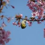 カワヅサクラ 目白と花と