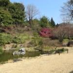 ヒカンザクラ 庭園の中 木の遠景