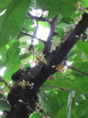 カカオ 幹にいっぱい付いて咲く花