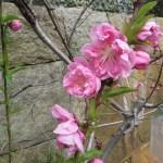 モモ やや薄い色の花