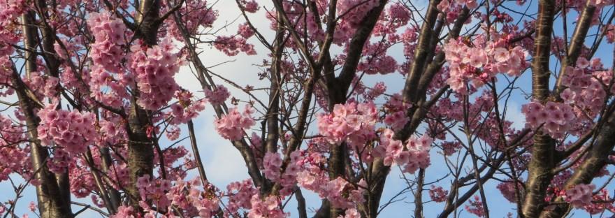 ヨウコウサクラ 満開の花