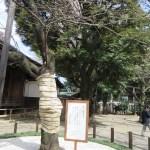 靖国神社 標準木 Standard tree in Tokyoソメイヨシノ