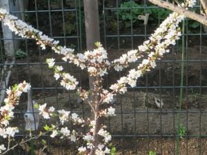 枝にびっしりとついた花