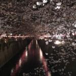 目黒川の夜桜 ソメイヨシノ