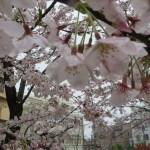 ほぼ満開の花 ソメイヨシノ